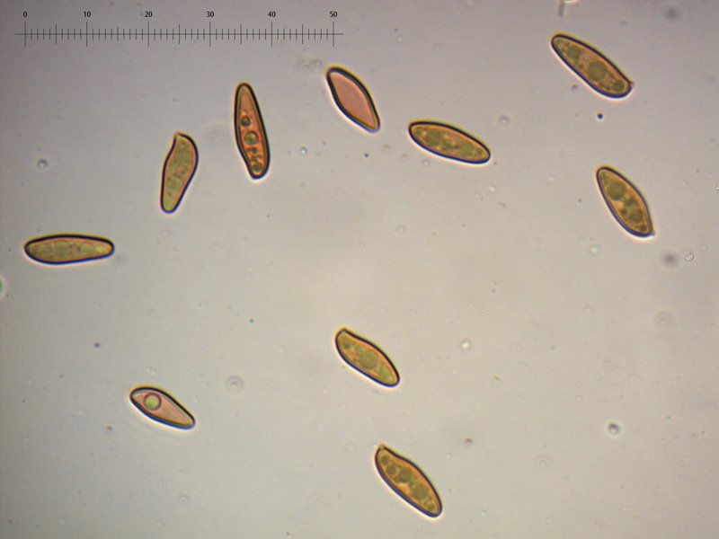 Xerocomellus-cisalpinus-spore-10_1000.jpg