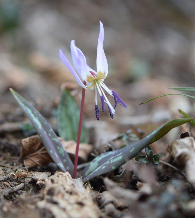 Erythronium dens-canis L. 2.jpg