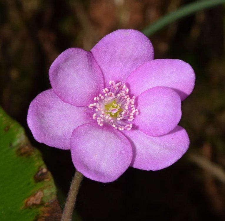 Hepatica nobilis Miller 5.jpg