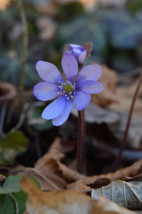 Hepatica nobilis Miller 1.jpg