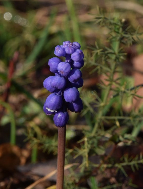Muscari botryoides (L.) Miller. 2.jpg