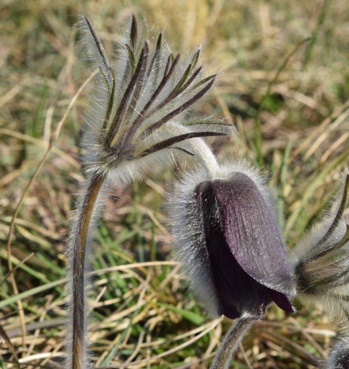 Pulsatilla montana (Hoppe) Rchb. 2.jpg