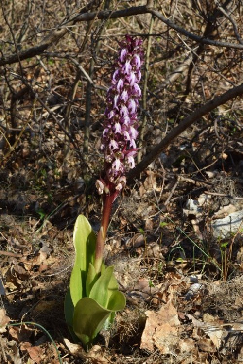Himantoglossum robertianum (Loisel) P. Delforge 12.jpg