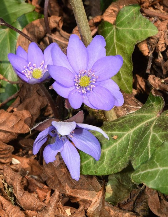 Hepatica nobilis Miller 3.jpg