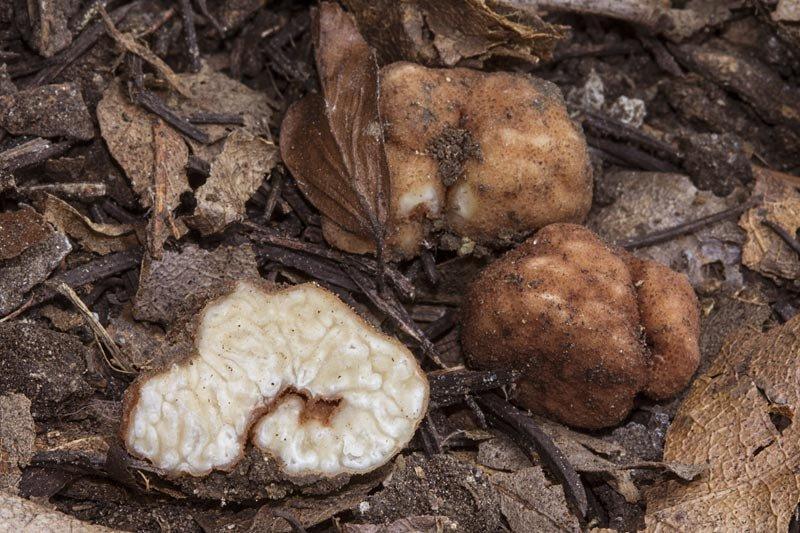 Balsamia vulgaris 01.jpg