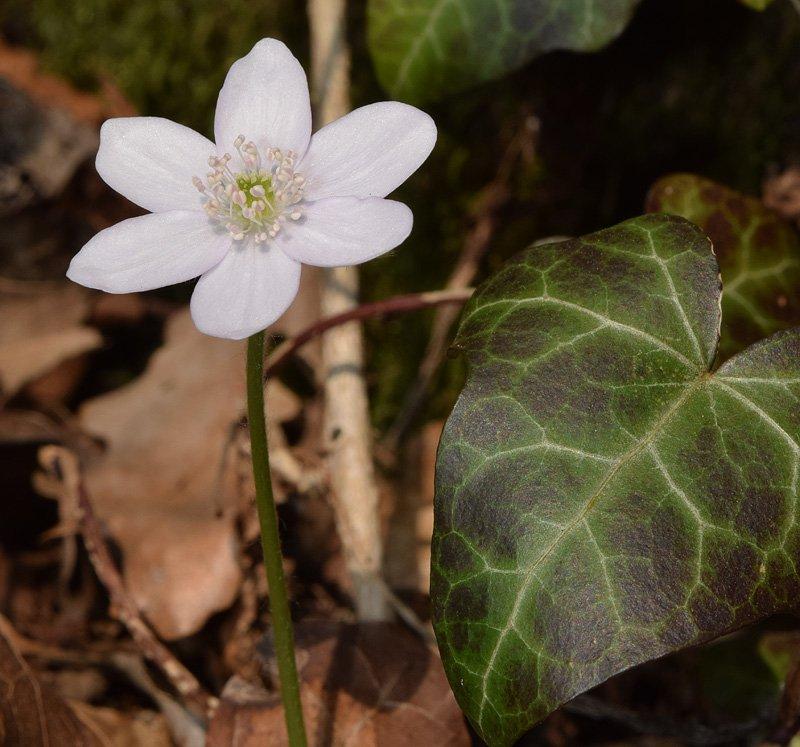 Hepatica nobilis Miller albiflora 3.jpg