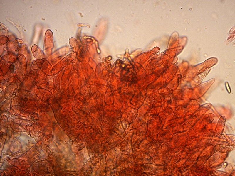 Xerocomellus cisalpinus - pileipellis-05_400.jpg