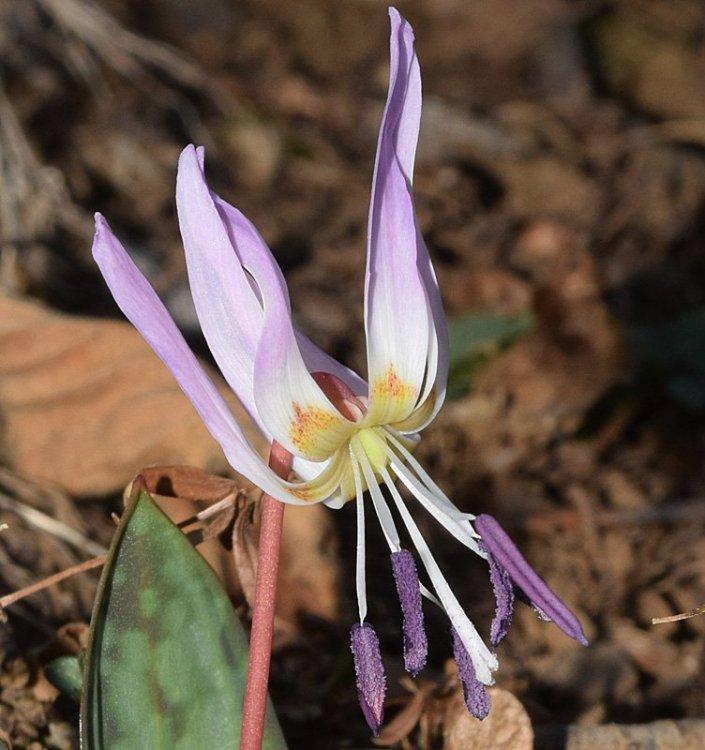 Erythronium dens-canis L. 4.jpg