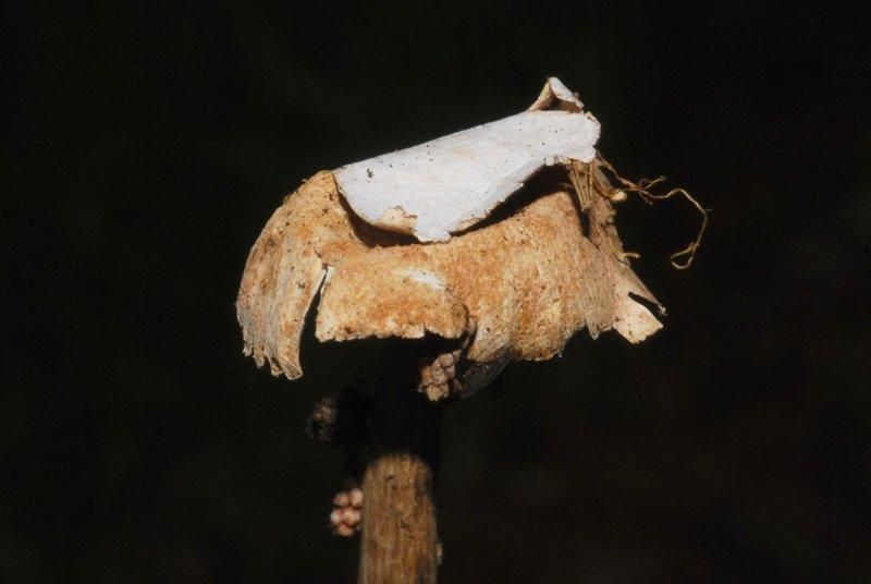 Battarrea phalloides 06.jpg