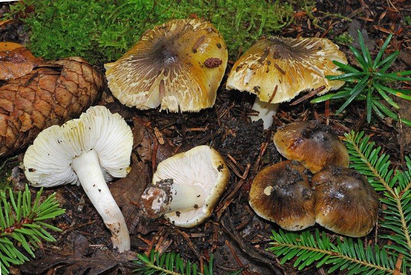 Tricholoma viridilutescens 05.jpg