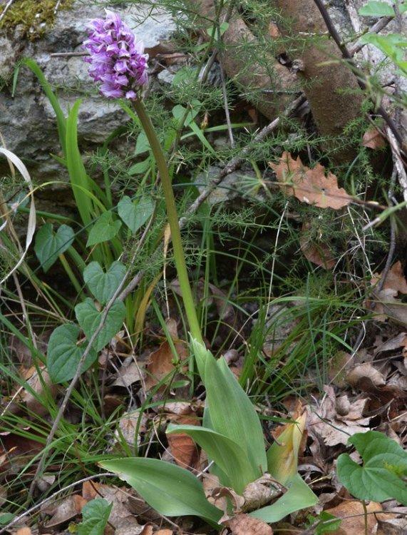 Orchis simia Lam. 4.jpg