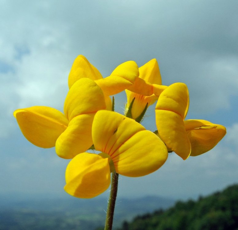 Lotus corniculatus.jpg