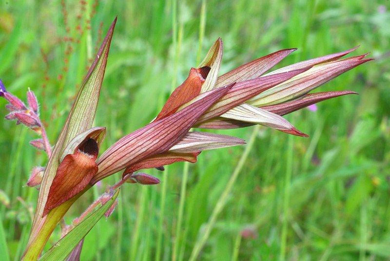 Serapias vomeracea 06.jpg