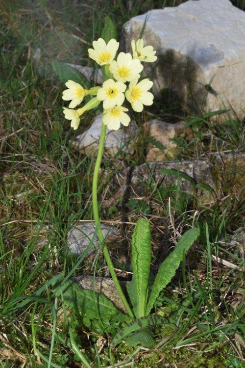 Primula eliator ssp. intricata (L.) Hill. 4.jpg