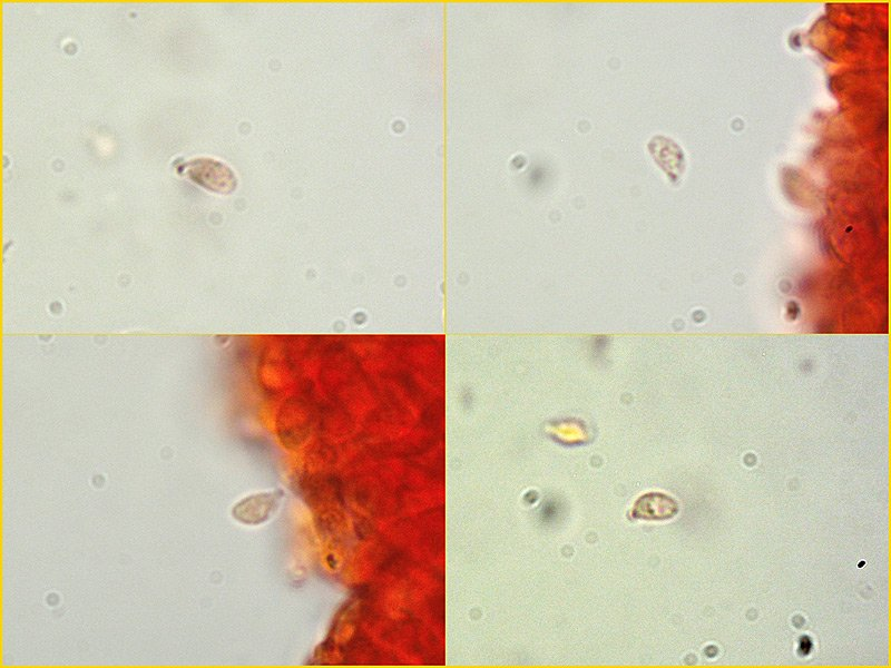Gymnopus hariolorum 06-7-8-9 Spore 1000x RC.jpg
