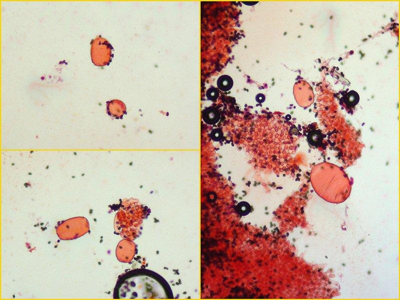 Coprinellus micaceus 10-1-2 Pleuro RC 400x.jpg