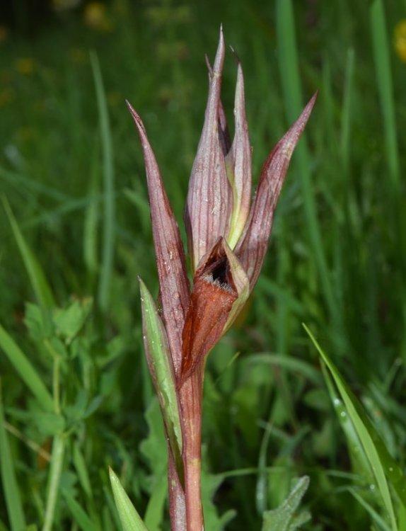 Serapias vomeracea subsp. vomeracea (Burm.f) Briq. 4.jpg