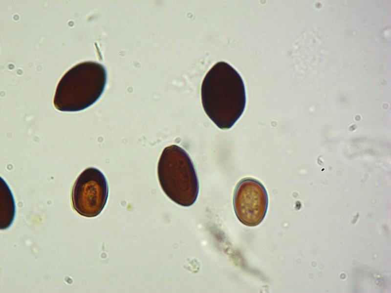 Panaeolus papailionaceus 07 Spore 1000x KOH.jpg