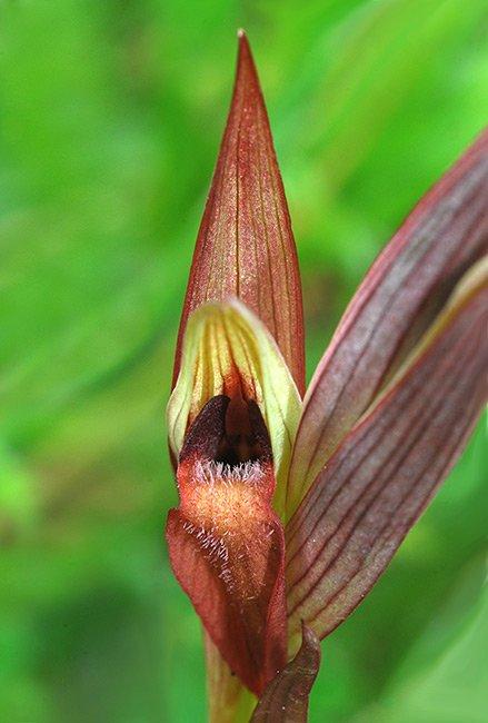 Serapias vomeracea 12.jpg