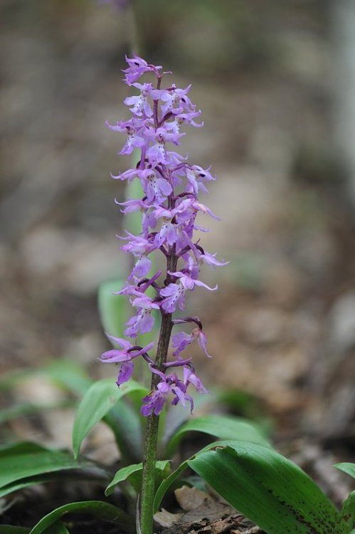 Orchis_mascula1.jpg