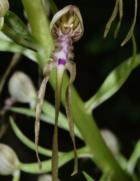 Himantoglossum adriaticum H. Baumann 1978. 5.jpg