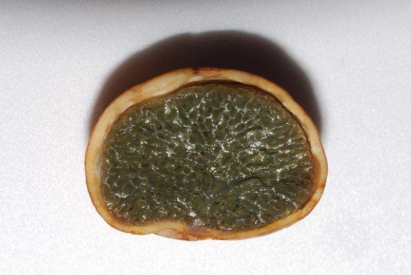 Hysterangium stoloniferum 15 Lorenzo Rossi.jpg