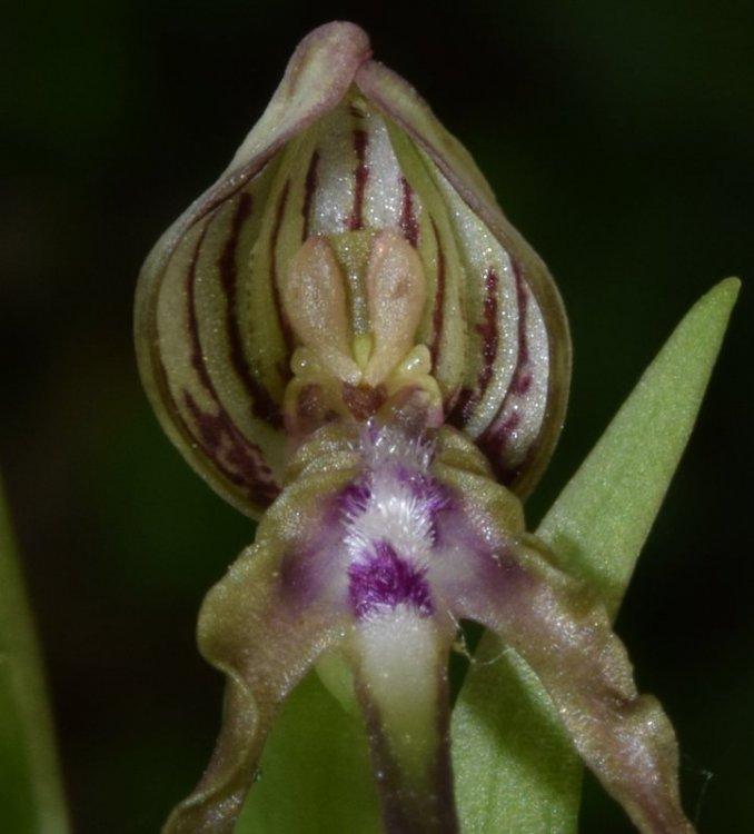 Himantoglossum adriaticum H. Baumann 1978. 4.jpg