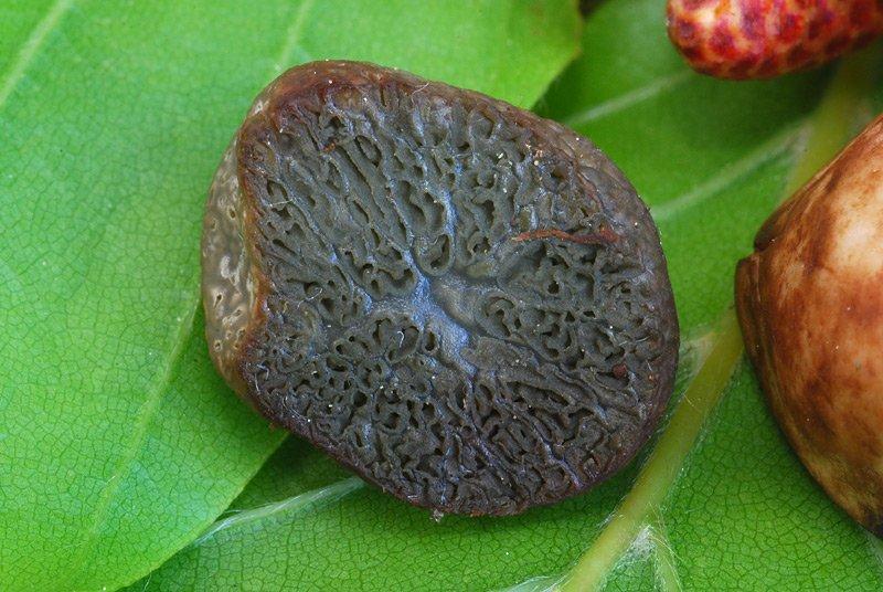 Hysterangium stoloniferum 12 Lorenzo Rossi.jpg