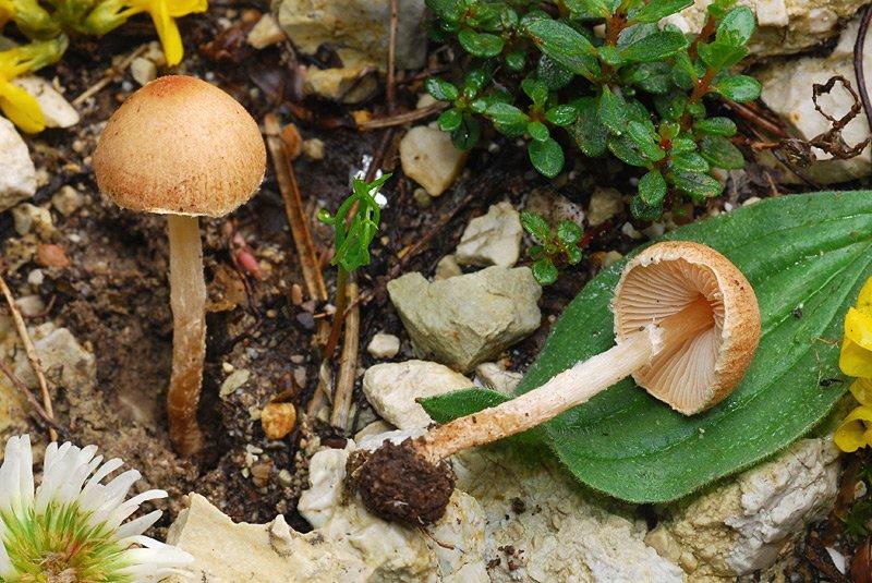 Lepiota rocabrunae 02-8.jpg