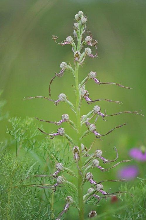Himantoglossum_adriaticum9.jpg