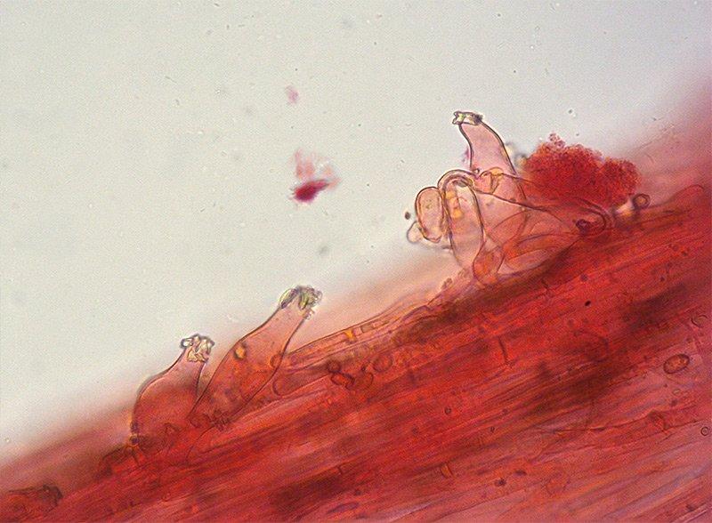 Inocybe-splendens-var-phaeoleuca-34-5-6-Caulo-terzo-basso-RC-400x.jpg