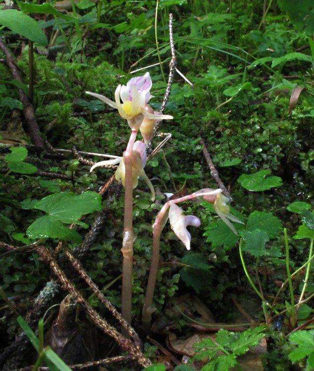 Epipogium aphyllum Sw. 1814 1.jpg
