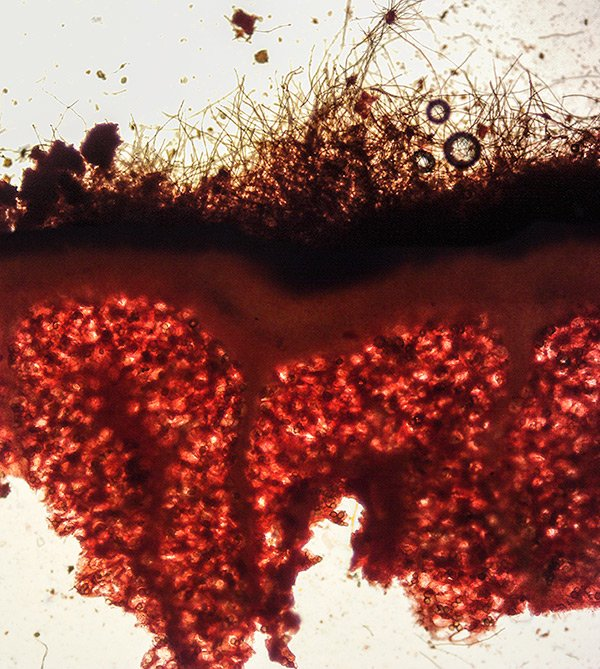 Tuber panniferum 42-5 Sezione Peridio RC 100x.jpg