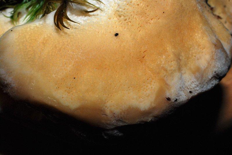 Climacocystis borealis 09.jpg