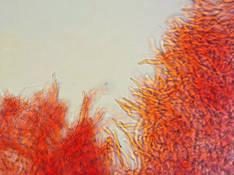 Climacocystis borealis 16 Ife sex trasversale pori RC 400x.jpg