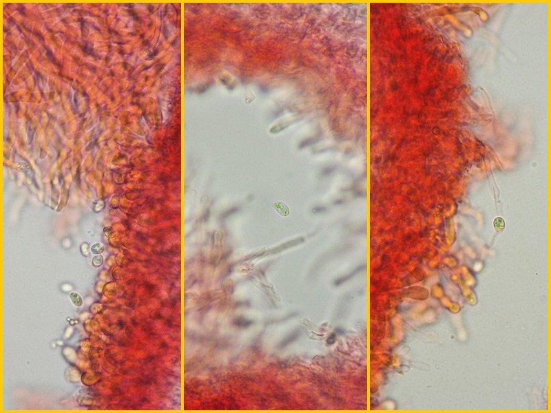 Climacocystis borealis 25 Spore RC 400x.jpg