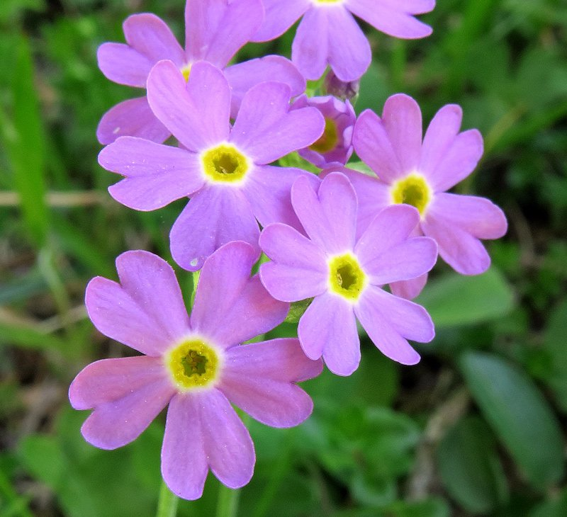 Primula-farinosa-L.IMG_1670.jpg