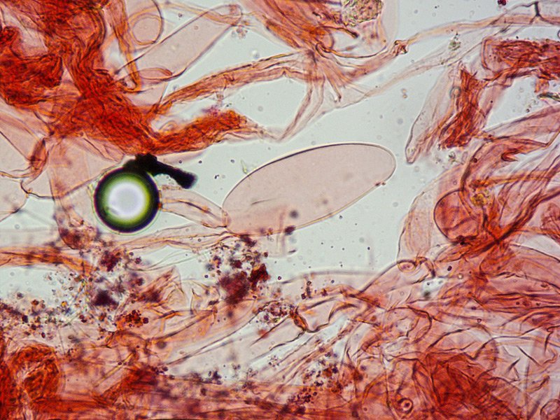 Volvariella hypopithys 177 TL190910-01 Volva RC 400x.jpg