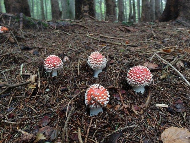 6 Amanita muscaria (1).JPG