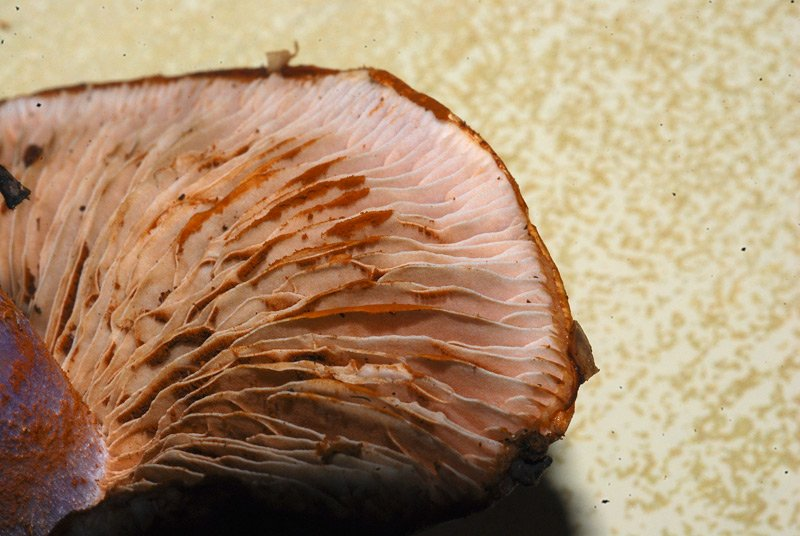 Cortinarius dibaphus 23.jpg