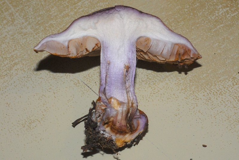Cortinarius dibaphus 24b.jpg