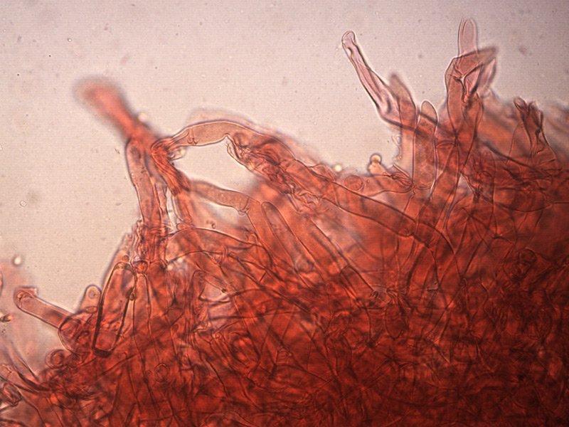 C-hariolorum-pileipellis-05_1000x.jpg