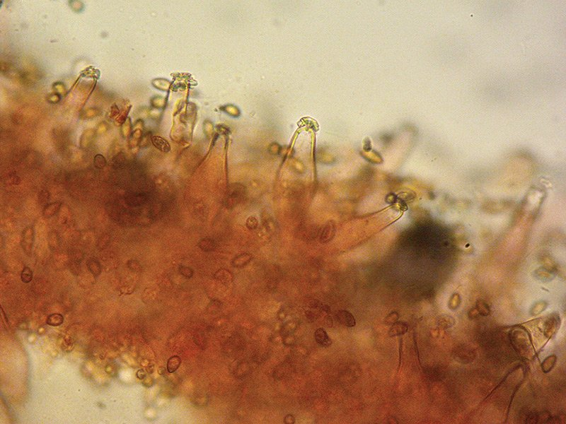 Inocybe-fuscidula-11-Cheilo-400x-RC.jpg