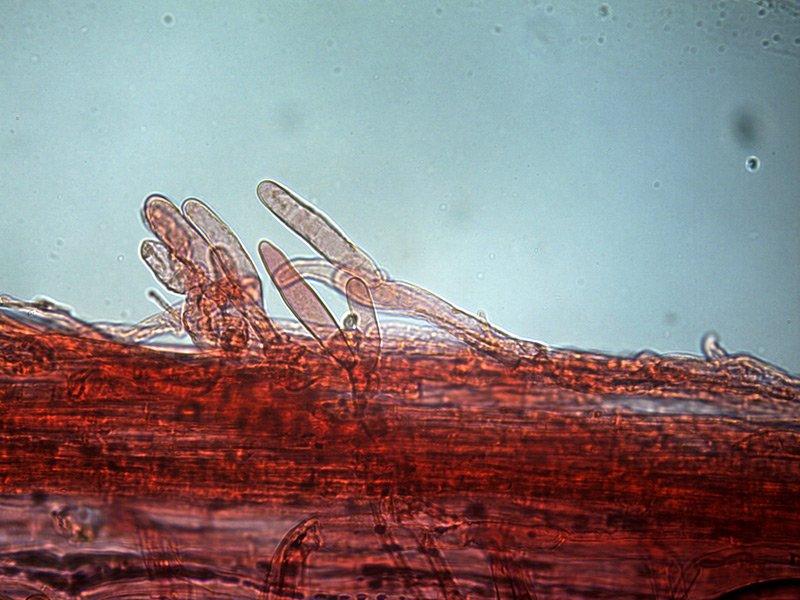 Inocybe-sp-caulo-medi-5_400-000008.jpg