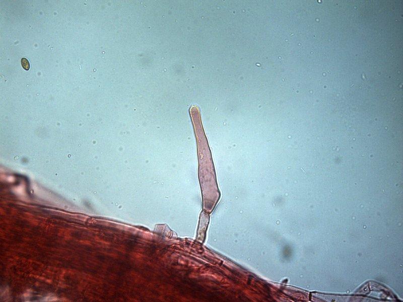 Inocybe-sp-caulo-medi-6_400-000008.jpg