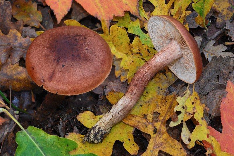Tricholoma quercetorum 01-4.jpg