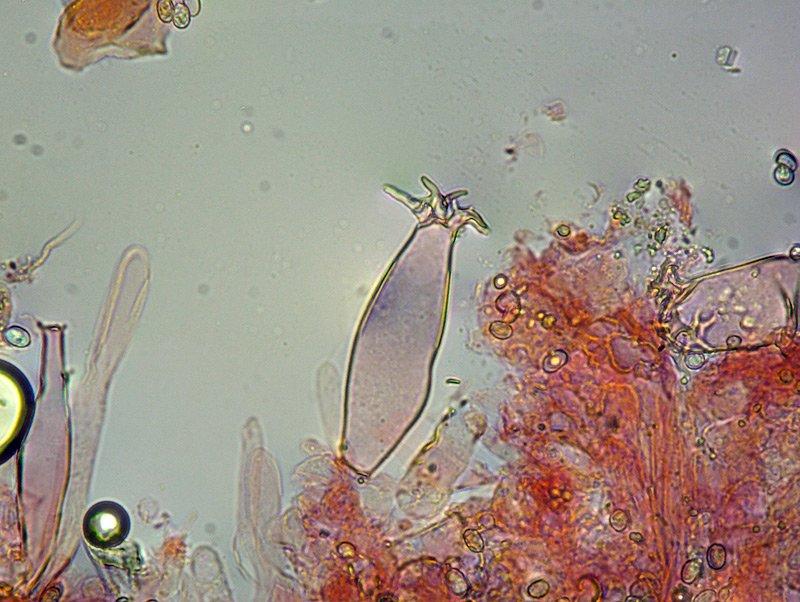 Pluteus salicinus 16-7 Pleuro 400x RC.jpg