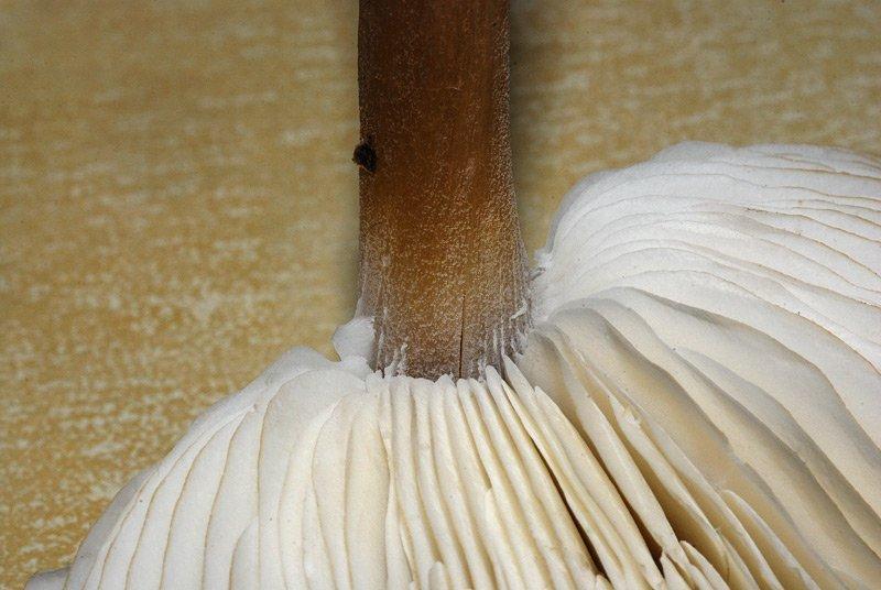 Melanoleuca friesii 14.jpg
