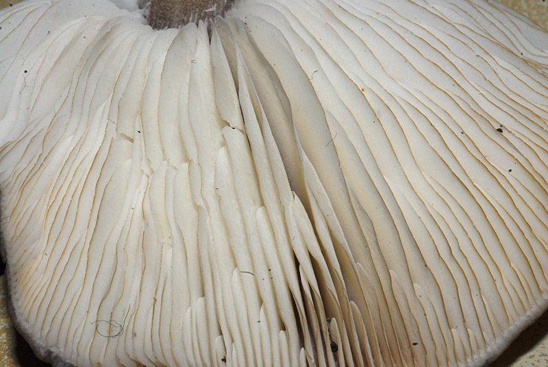 Melanoleuca friesii 12.jpg