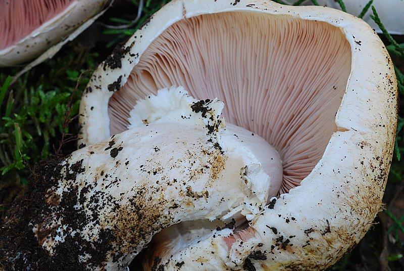 Agaricus impudicus 07.jpg